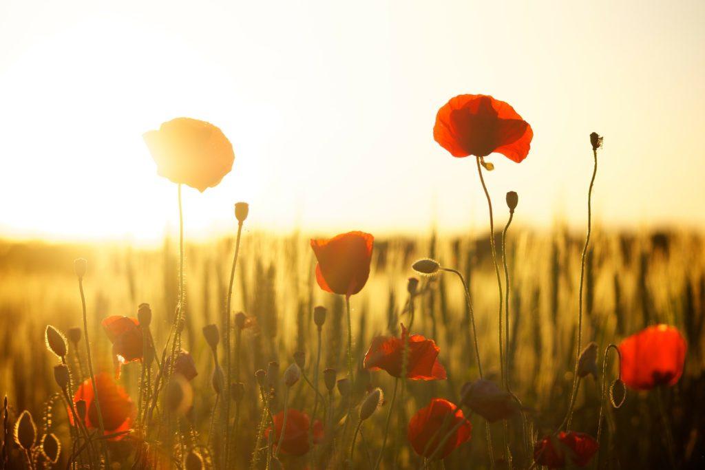 poppies sunset